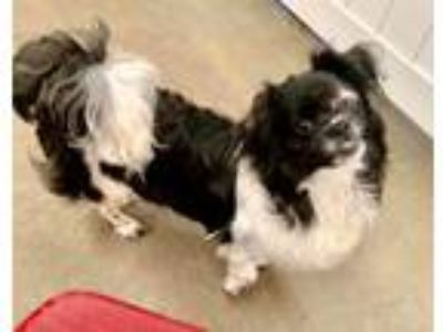 Adopt Pirate a Japanese Chin