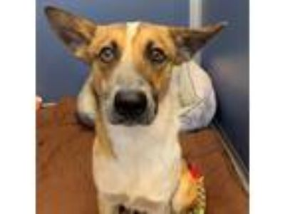 Adopt Elvis a Shepherd, Cattle Dog