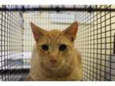 Adopt Nf-27d a Domestic Short Hair