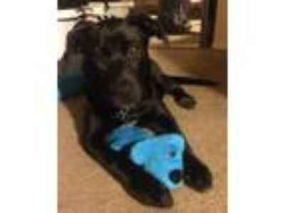 Adopt Roxi a Black Labrador Retriever / Jack Russell Terrier dog in Lakeside