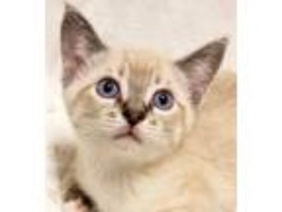 Adopt Onyx- RC PetSmart a White (Mostly) Siamese (short coat) cat in Rancho