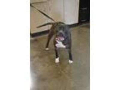 Adopt Found stray: Vinny a Pit Bull Terrier