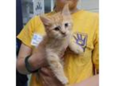 Adopt Griswald a Domestic Mediumhair / Mixed cat in Charlottesville