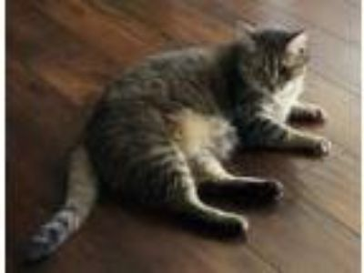 Adopt Holly a Gray, Blue or Silver Tabby Domestic Mediumhair / Mixed cat in