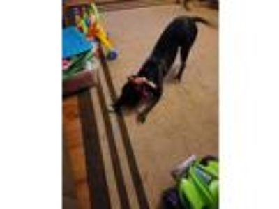 Adopt Tater a Black - with White Bull Terrier / Labrador Retriever dog in
