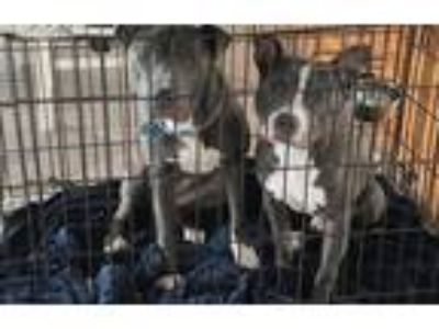 Adopt Levi and Felix a Gray/Silver/Salt & Pepper - with White American Pit Bull