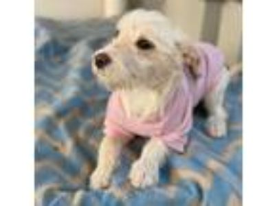 Adopt Zoey a Wirehaired Terrier, Terrier