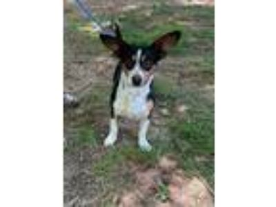Adopt Little John a Corgi / Basset Hound dog in Norristown, PA (25851210)