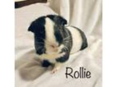 Adopt Rollie and Bingo a Guinea Pig