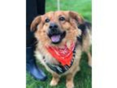 Adopt Abe a Brown/Chocolate - with Black Collie / German Shepherd Dog / Mixed