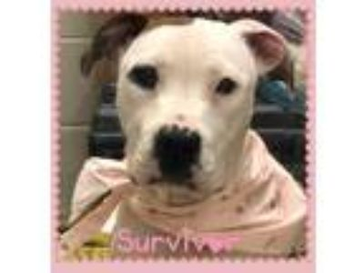 Adopt Moo a White - with Brown or Chocolate American Pit Bull Terrier dog in