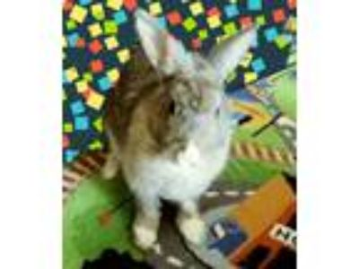 Adopt Sandy and Carlos a Multi Champagne D'Argent / Mixed (short coat) rabbit in
