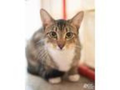 Adopt Lima Bean a Gray or Blue Domestic Shorthair / Domestic Shorthair / Mixed