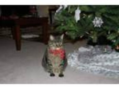 Adopt Gidget a Gray, Blue or Silver Tabby Domestic Shorthair / Mixed cat in