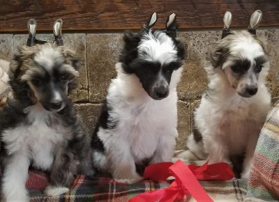Powderpuff Chinese Crested Puppies ~ AKC Champion/Grand Champion Parents