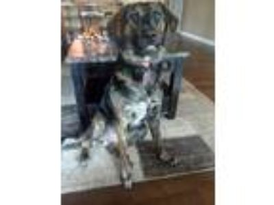 Adopt Paisley a Brown/Chocolate - with Black Dutch Shepherd / German Shepherd