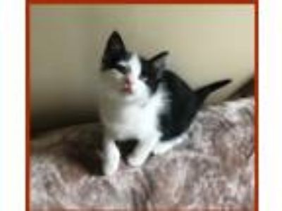 Adopt Lili a Black & White or Tuxedo Domestic Shorthair (short coat) cat in Mt.
