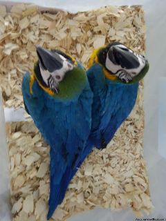 Blue and gold macaw birds for sale