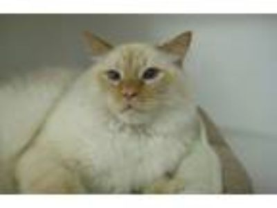 Adopt Creamsicle a Himalayan / Mixed cat in Escondido, CA (25333211)