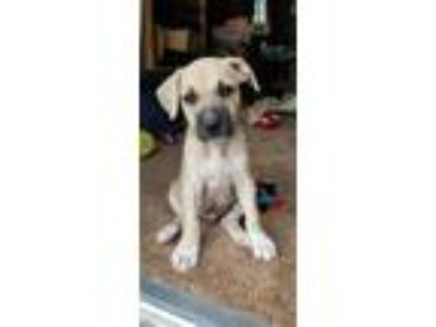 Adopt Chewy a Tan/Yellow/Fawn Pit Bull Terrier / Shepherd (Unknown Type) dog in