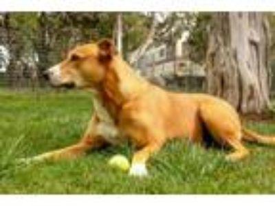 Adopt Adopt a Senior: Peanut a Rhodesian Ridgeback, Greyhound