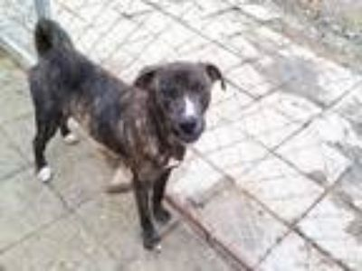 Adopt Cooper a Brindle - with White Mountain Cur / Plott Hound / Mixed dog in