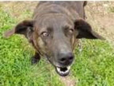 Adopt Autumn a Plott Hound