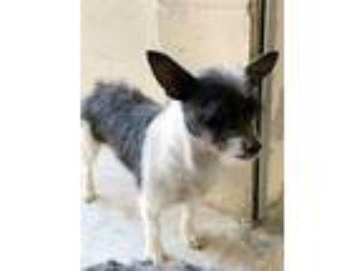 Adopt BM a White Rat Terrier / Mixed dog in New Smyrna Beach, FL (27426885)