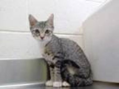 Adopt *BUTTERCUP a Gray or Blue (Mostly) Domestic Shorthair / Mixed (short coat)