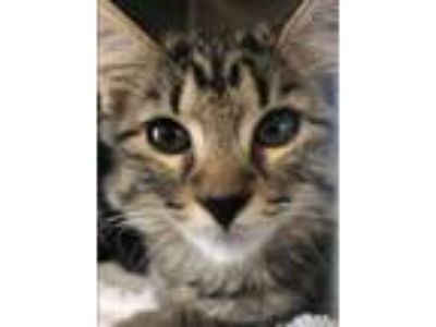 Adopt Stacy a Gray or Blue Domestic Longhair / Domestic Shorthair / Mixed cat in