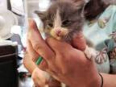 Adopt Daniel a Gray or Blue Domestic Shorthair / Balinese / Mixed cat in