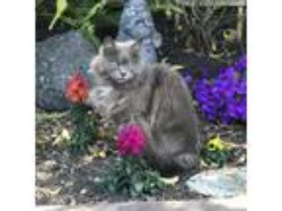 Adopt Fancy [CP] a Gray or Blue (Mostly) Maine Coon / Mixed (long coat) cat in