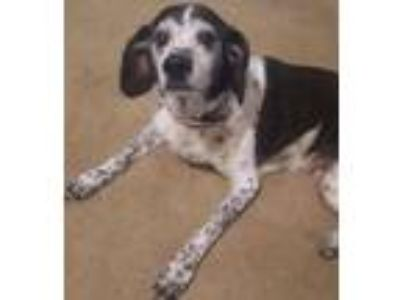 Adopt Panika a Border Collie, Beagle