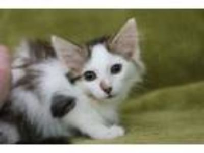 Adopt Petunia D a Domestic Medium Hair, Manx