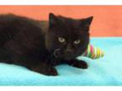 Adopt Raisin a All Black Domestic Mediumhair / Domestic Shorthair / Mixed cat in