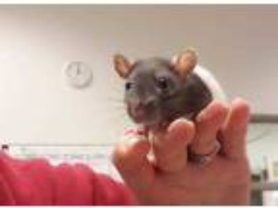 Adopt Jellybean a Sable Rat / Rat / Mixed small animal in Chicago, IL (25223707)