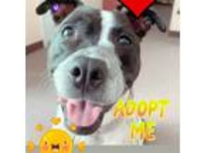 Adopt Lulu will make you smile everyday a American Staffordshire Terrier