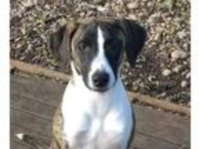 Adopt Daisy a Brindle - with White Hound (Unknown Type) / Terrier (Unknown Type