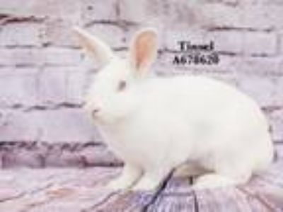 Adopt TINSEL a Bunny Rabbit