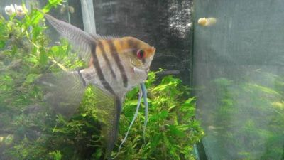 Large Adult Longfin Silver Angelfish