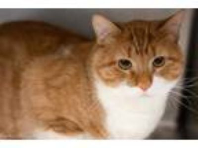 Adopt BRUCE a Orange or Red Tabby Domestic Shorthair / Mixed (short coat) cat in
