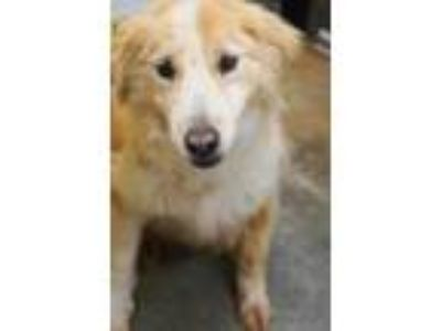 Adopt Maddie a Collie, Mixed Breed