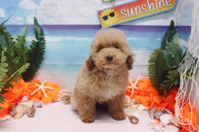 Poodle (Toy) PUPPY FOR SALE ADN-89976 - Toy Poodle  Rosie  Female