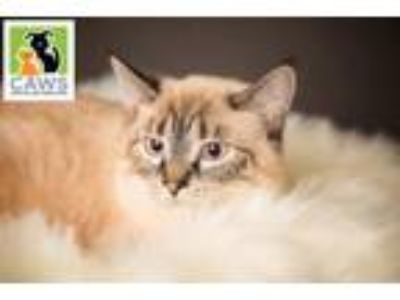 Adopt Sabrina a Domestic Short Hair