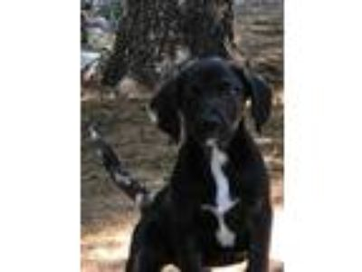 Adopt Frankie G a Black Labrador Retriever / Mixed Breed (Medium) / Mixed dog in