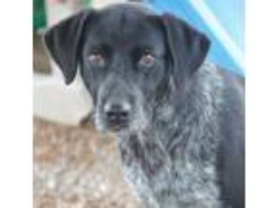 Adopt Shira a Black - with White Labrador Retriever / Mixed dog in Cranston
