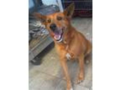 Adopt SCARLET a German Shepherd Dog, Labrador Retriever