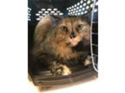Adopt Stella a Domestic Long Hair