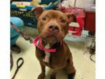 Adopt Cybrese a American Pit Bull Terrier / Mixed dog in Charlottesville