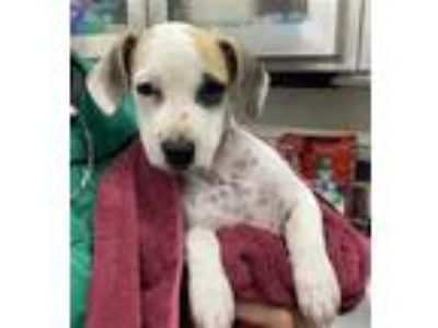 Adopt ALLISON a White - with Tan, Yellow or Fawn Black Mouth Cur / Cairn Terrier